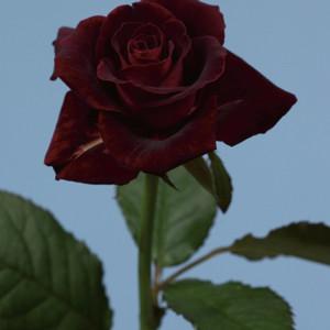 08_Rosa_BlackBeauty