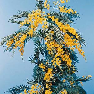 349_Acacia_mimosa