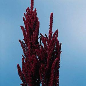 353_Amaranthus_summer